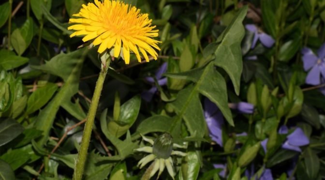 maskros (taraxacum officinale)